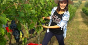 grape harvest 7 giorni